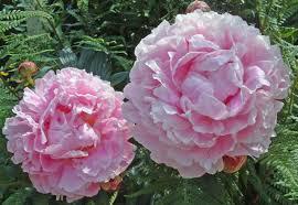 گل صدتومانی از خانواده رزها به شمار می آید