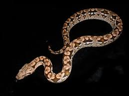 http://tbn3.google.com/images?q=tbn:HVYHNc0u2GoOJM:http://www.hiss-n-things.com/SnakesWe%27veBred/Dumeril2003.jpg