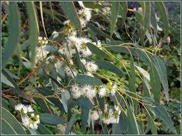feuilles d`eucalyptus