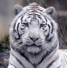1232_tigre_blanc