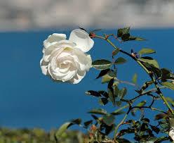 ������ ����� ��������� ---0 20060311-6715 White Rose.jpg