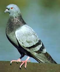[Image: pigeon1.jpg]