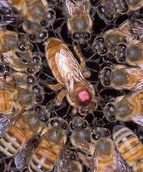 زنبور ملکه