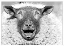 خير الكبش لي يعجبك ازرب ازرب.......... Sheepjoy6iv