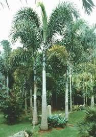 6187 palem Palem  Plant