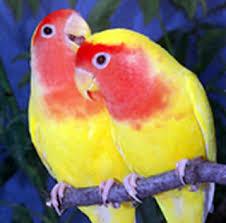 تابع .. صور جميله للطيور lovebirds1eg2.jpg