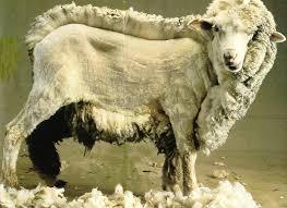 aid mabrouk Mouton