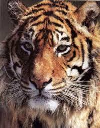 Tigre.1